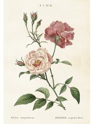 Gammaldags plansch skolplansch svenska växter ros Rosa Semperflorens shabby chic lantlig stil