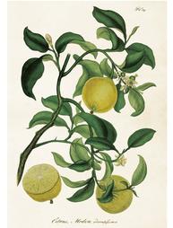 Gammaldags plansch skolplansch svenska växter citron shabby chic lantlig stil