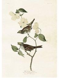 Gammaldags plansch skolplansch svenska växter Blomsterkornell Vitbrynad sparv shabby chic lantlig stil