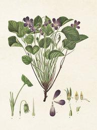 Gammaldags liten plansch skolplansch svenska växter viol shabby chic lantlig stil