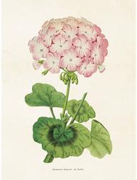Gammaldags liten plansch skolplansch svenska växter Pelargon rosa shabby chic lantlig stil