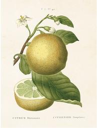 Gammaldags liten plansch skolplansch svenska växter citron shabby chic lantlig stil