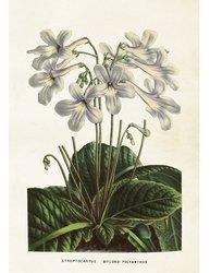 Gammaldags plansch skolplansch svenska växter vit Streptocarpcus shabby chic lantlig stil
