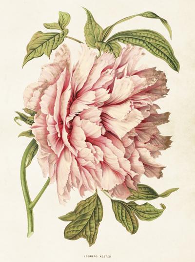 Gammaldags plansch skolplansch svenska växter Rosa Pion shabby chic lantlig stil
