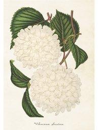 Gammaldags plansch skolplansch svenska växter vit hortensia shabby chic lantlig stil