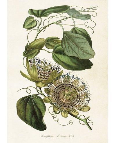 Gammaldags plansch skolplansch svenska växter Passiflora shabby chic lantlig stil