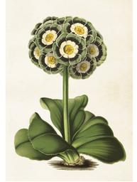 Gammaldags plansch skolplansch svenska växter primula shabby chic lantlig stil