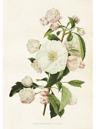 Gammaldags plansch skolplansch svenska växter äppel blommor shabby chic lantlig stil