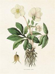 Gammaldags liten plansch skolplansch svenska växter vit julros shabby chic lantlig stil